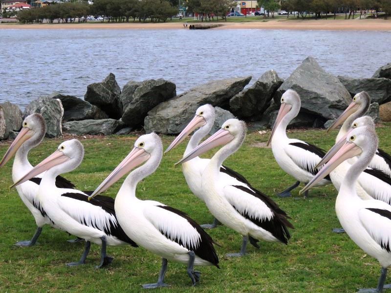 Pelicans_by_the_Water_Clontarf_Redcliffe